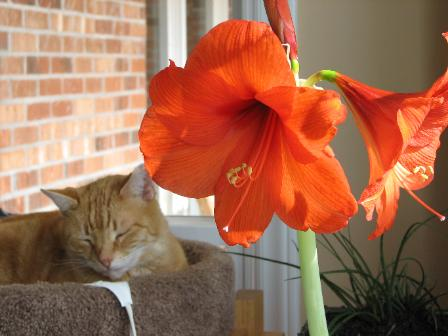 Herbie on the kitty tower on a heating pad with monster amaryllis on my desk at home!
